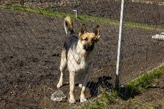 Schäferhund hinter einem Zaun Stockbild