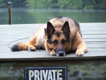 Schäferhund-Hund Lizenzfreie Stockfotografie