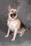 Schäferhund-Hund Stockbilder