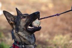 Schäferhund Hund Stockfoto