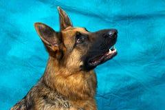 Schäferhund-Hund, der oben schaut Stockfotos