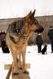 Schäferhund-Hunde Lizenzfreies Stockfoto