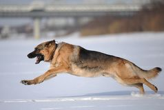 Schäferhund-Hundebrut läuft auf das Feld Stockbilder
