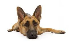 Schäferhund-Hundeniederlegung Stockfotos