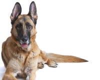 Schäferhund-Hundeweibliche Niederlegung Lizenzfreie Stockfotos