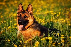 Hund - Schäferhund lizenzfreie stockfotos