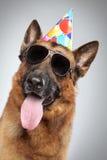 Schäferhund im Kegel und in den dunklen Sonnenbrillen Stockbilder