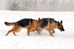 Schäferhund im Schnee stockfotos
