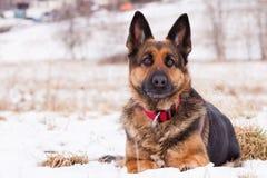 Schäferhund im Winter Stockbilder