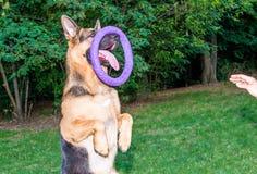 Schäferhund mit Abziehvorrichtung Stockfotografie