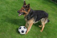 Schäferhund mit einer Kugel Stockbilder