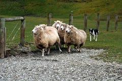 Schäferhund mit Schafen Lizenzfreie Stockfotos