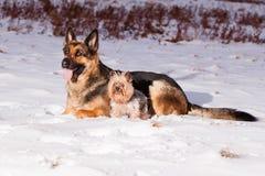 Schäferhund mit Yorkshire-Terrier Lizenzfreies Stockfoto