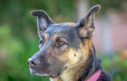 Schäferhund Mix Dog lizenzfreies stockbild