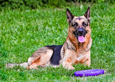 Schäferhund nahe Abziehvorrichtung Lizenzfreie Stockfotografie