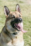 Schäferhund Outdoor Portrait Lizenzfreie Stockbilder