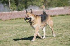 Schäferhund am Park Lizenzfreie Stockbilder