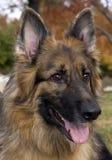 Schäferhund-Portrait Stockfotografie