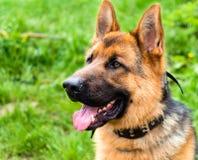 Schäferhund Portrait stockfoto