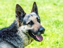 Schäferhund Portrait stockfotos