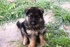 Schäferhund Puppy Stockfotos