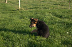 Schäferhund Puppy Lizenzfreies Stockbild