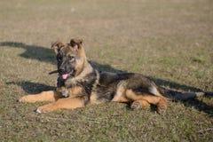 Schäferhund Puppy Lizenzfreies Stockfoto