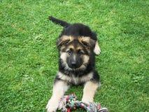Schäferhund Puppy - 9 Wochen Porträt Stockbilder