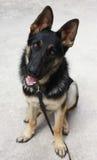 Schäferhund Sitting Lizenzfreie Stockfotografie