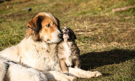 Schäferhund und ihre Junge Stockbild