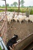 Schäferhund und Schafe Stockfoto