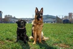 Schäferhund und schwarzes Labrador sitzen und hören auf den Befehl lizenzfreies stockbild