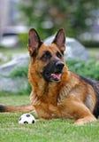 Schäferhund und smoll runde Samenkapsel Stockbilder