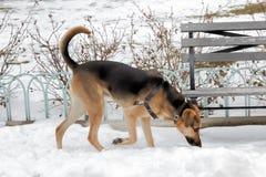 Schäferhund Walking auf dem Schnee Stockfotografie