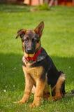 Schäferhund-Welpe Lizenzfreies Stockbild