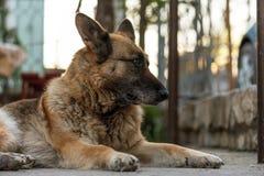 Schäferhundabschlussansicht über Gesicht Stockfotografie