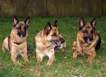 Schäferhunde 03 Stockfotos