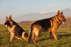Schäferhunde auf dem Feld Stockfotografie