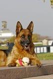 Schäferhundfrau Stockbild