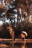 Schäferhundhund auf dem Fluss stockfoto
