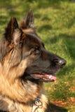 Schäferhundhund, der ein t ein entfernten Punkt schaut Stockfotos
