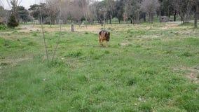 Schäferhundhund, der am Park geht stock video