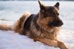 Schäferhundhund in einer Schneewehe Stockbild