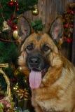 Schäferhundhund für Weihnachten Lizenzfreies Stockbild