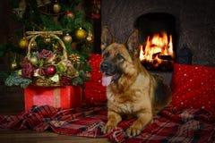 Schäferhundhund für Weihnachten stockbild