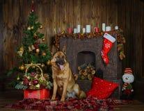 Schäferhundhund für Weihnachten stockbilder