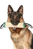 Schäferhundhund mit einem Spielzeug Stockfoto