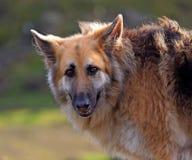 Schäferhundhundeprofil Lizenzfreie Stockbilder