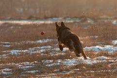 Schäferhundhundezwinger für den Ball auf dem Schnee schmolzen lizenzfreies stockfoto