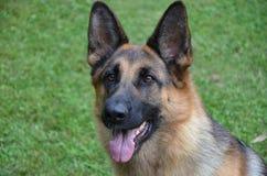 Schäferhundportrait Lizenzfreies Stockfoto